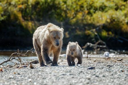 ourson: ours femelle Brown et son petit