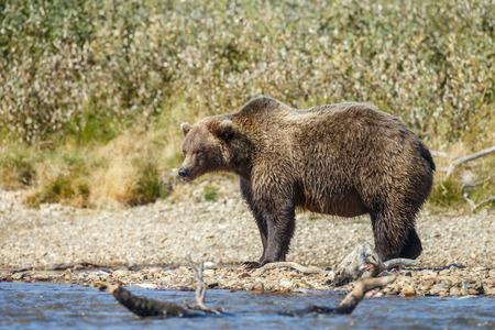 alaskan bear: Brown bear eating a salmon Stock Photo