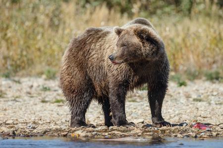 alaskan bear: Brown bear chasing sockeye salmon