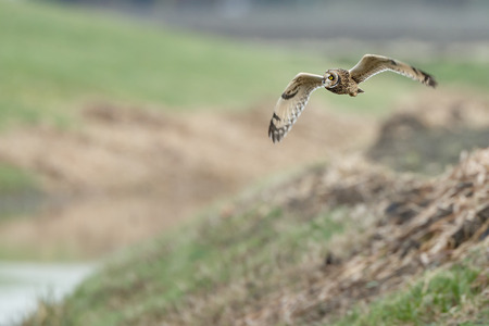 eared: Short eared owl in flight