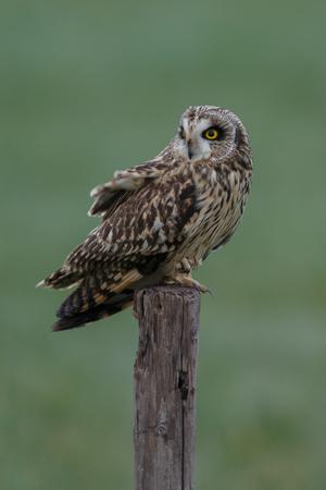 eared: Short eared owl Stock Photo