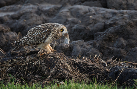 eared: Short eared owl with a mouse