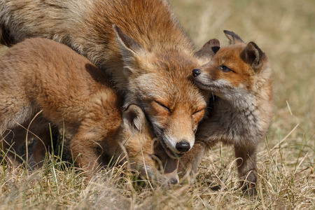 Red fox in nature with cubs 版權商用圖片