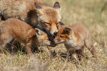 Red fox in nature with cubs Stock Photo