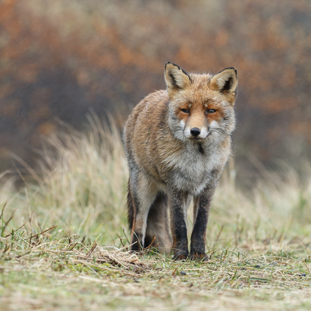 devious: Red fox in nature Stock Photo