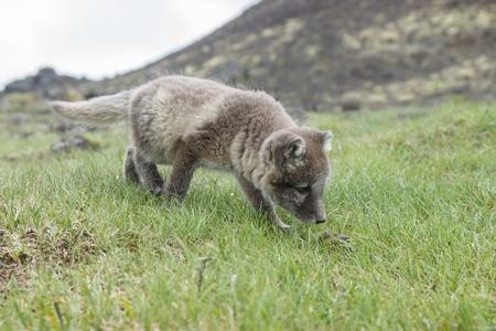 cachorro: Arctic fox cub in nature