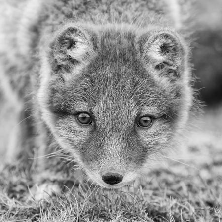arctic fox: Arctic fox cub in nature