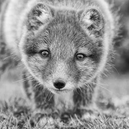 Arctic fox cub in nature