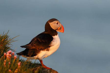 Puffin in the colors of the midnight sun