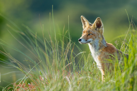 自然の中の赤狐