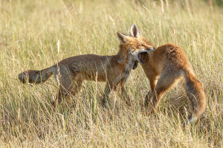 Red fox cubs in nature