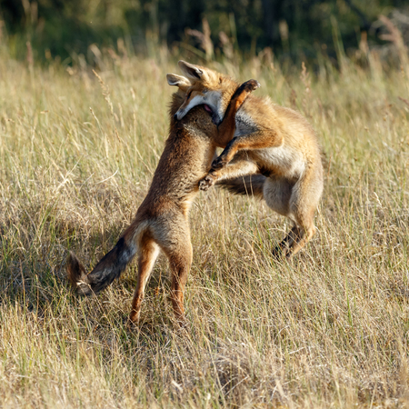 Red fox cubs fighting Imagens