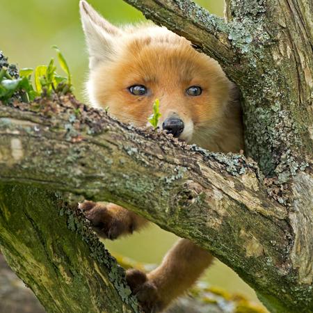 自然の中の赤狐カブ