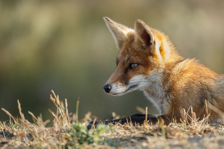 Red fox cub in nature