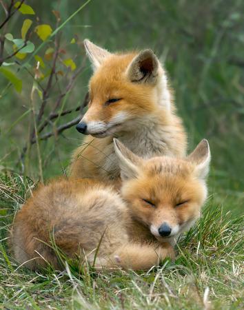 赤狐カブス
