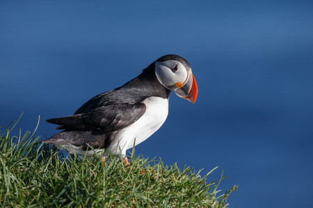 Puffin at Latrabjarg Iceland during midsummer night sun