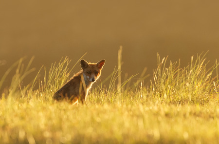 Red fox juvenile in nature