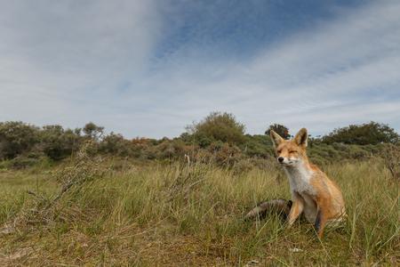 赤狐少年自然の中