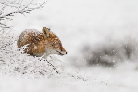 Red fox in a winter landscape, during first snowfall at the Dutch dunes Stock Photo