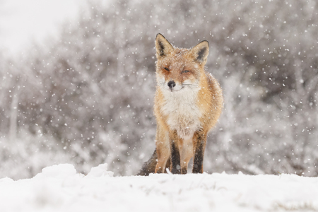 Red fox in a winter landscape, during first snowfall at the Dutch dunes Imagens
