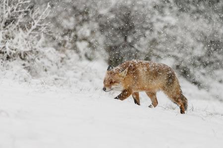 オランダの砂丘で最初の降雪の間に冬の風景の赤いキツネ 写真素材