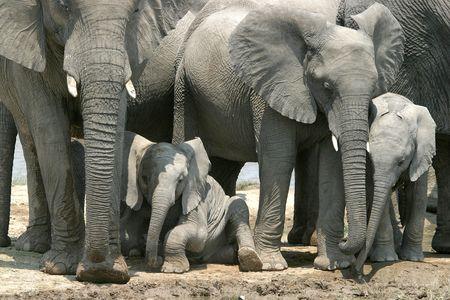 little elephant lying