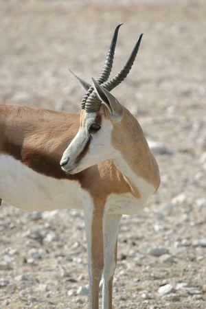 springbok: springbok Stock Photo
