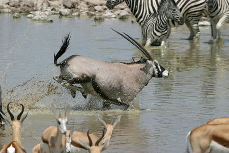 oryx: oryx running Stock Photo