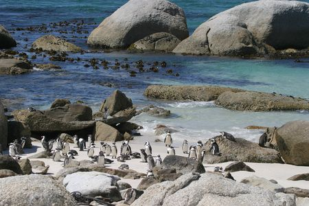 capetown: penguins Stock Photo