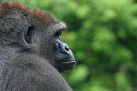 intimidating: gorilla