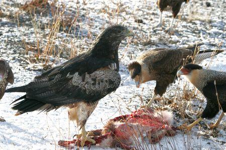águila y caracara  Foto de archivo - 1423963