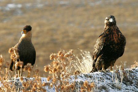 eagle and caracara photo