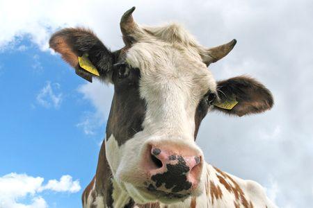 curious brown and white dutch cow