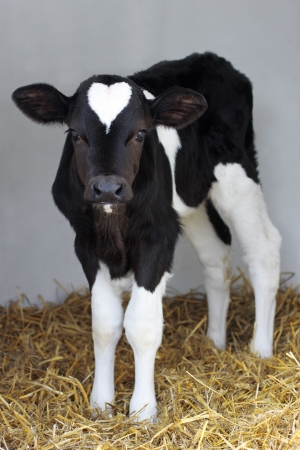 little black and white calf with shape on his head