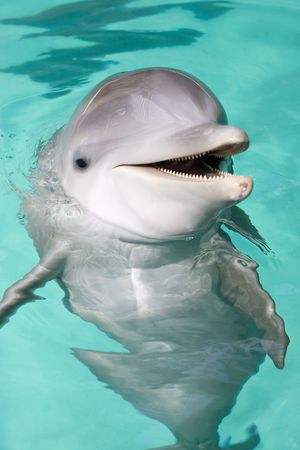 bottlenose dolphin smiling to the camera Stock Photo