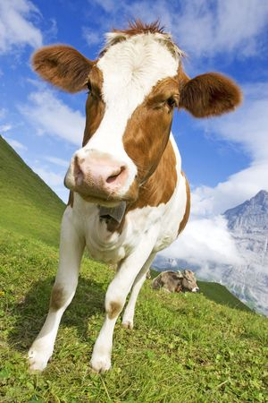 Brown and white cow in the alps, switzerland with snowy mountains in background Stock Photo