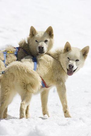 Dog-sledding with Huskies in Swiss Alps, Switzerland Stock Photo - 3415197