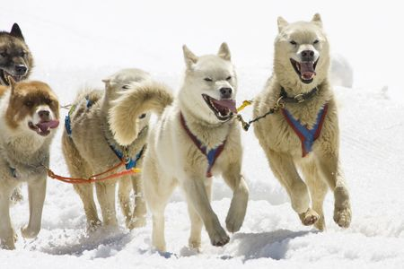 Dog-sledding with Huskies in Swiss Alps, Switzerland Stock Photo - 3415195