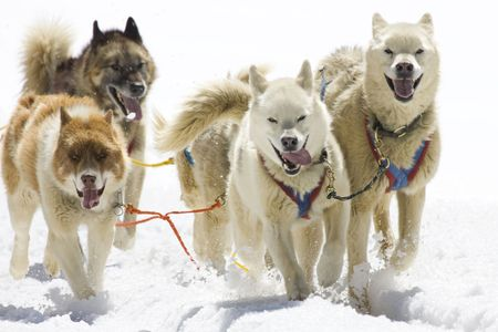 dog sled: Dog-sledding with Huskies in Swiss Alps, Switzerland Stock Photo