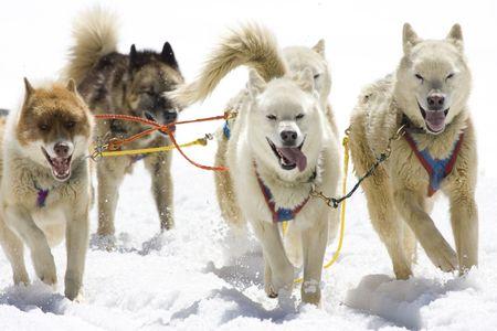 Dog-sledding with Huskies in Swiss Alps, Switzerland Stock Photo - 3415196