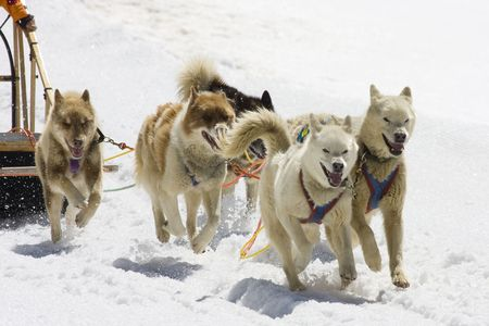huskies: Dog-sledding with Huskies in Swiss Alps, Switzerland Stock Photo