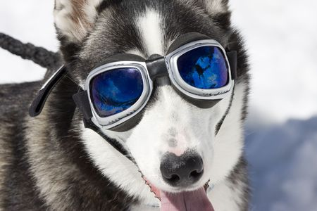Husky wearing sunglasses, protection against the sun