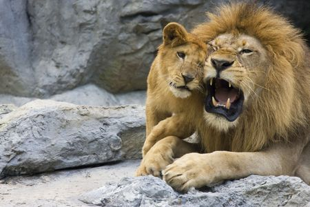 tender tenderness: big lion father and his son playing Stock Photo