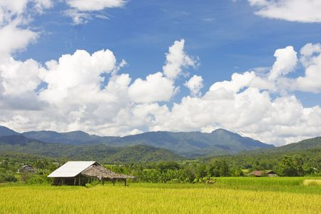 ricefield: Green paddy field in the north of Thailand