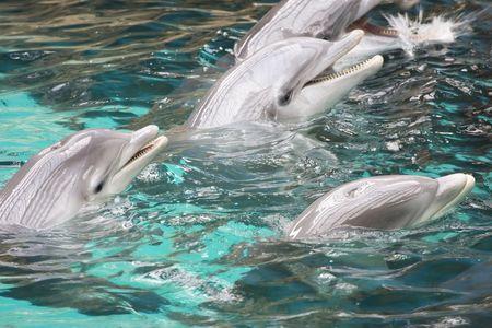 bottlenose: bottlenose dolphins playing together