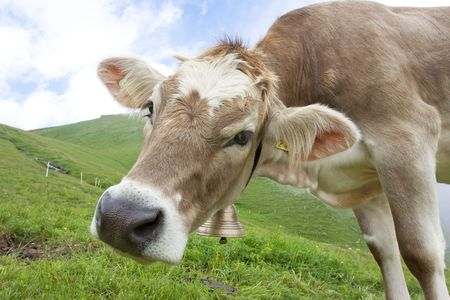 beautiful cow: beautiful cow in swiss alps Stock Photo
