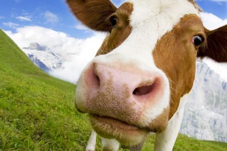 milchkuh: Braunen und wei�en Kuh in den Alpen, der Schweiz, mit schneebedeckten Bergen im Hintergrund Lizenzfreie Bilder