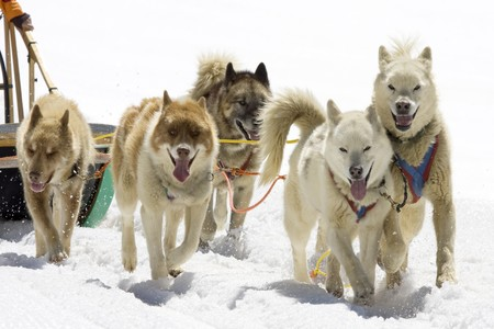 Dogsledding with Huskies in Swiss Alps, Switzerland Stock Photo - 4235354