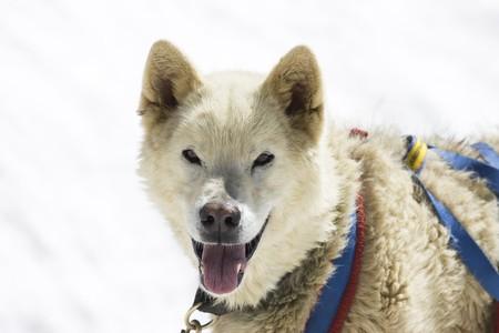 Dogsledding with Huskies in Swiss Alps, Switzerland Stock Photo - 4235355