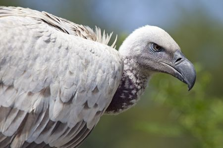 gyps: African Cape vulture (Gyps coprotheres)